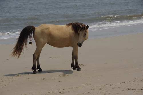 File:Pooping Pony on Assateague Nat. Park Island....jpg