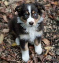 04778f0b77a538b9777f37a53b0cb869--australian-shepherd-puppies-australian-shepherds