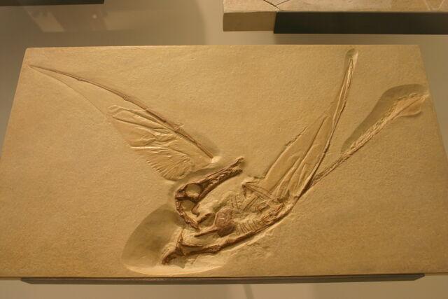 File:20091226005013!Rhamphorhynchus muensteri cast.jpg