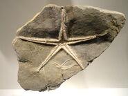 Pentasteria longispina, starfish, Early Late Jurassic, Oxfordian Age, Switzerland - Houston Museum of Natural Science - DSC01811
