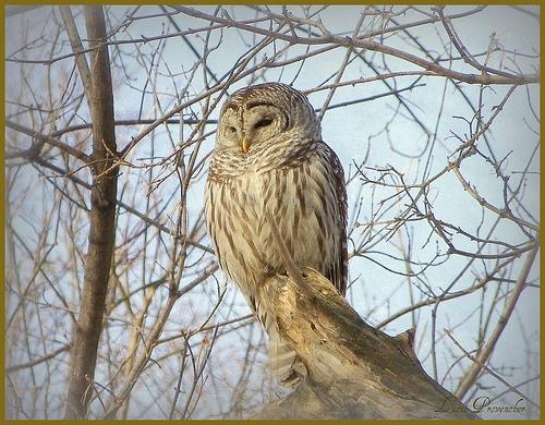 File:Chouette rayée .. Barred Owl...jpg