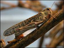 Migratory-locust