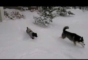 Mishka and moki in snow