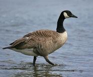 Canada-goose-01