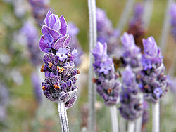 File:Single lavendar flower02.jpg