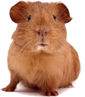 File:Guinea-pig.jpg