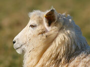 Sheep Portrait..