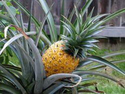 PineappleRipe4