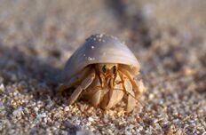 Hermit-crab-derm