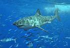 File:140px-White shark.jpg