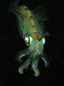 File:Squid komodo.jpg