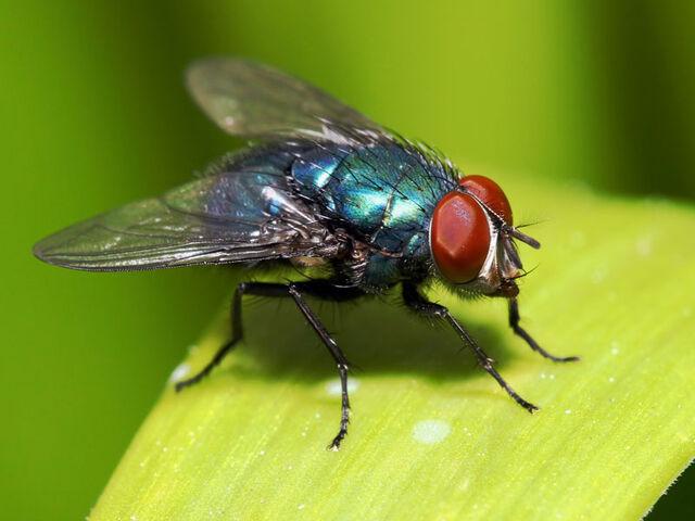 File:Flies.jpg