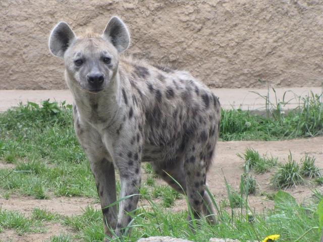 File:Hyena-rl.png