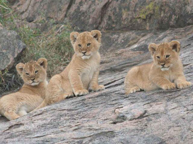 File:Lion-cubs-image-lion-cubs-36139518-1024-768.jpg