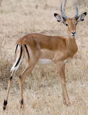 File:Impala-rl.png