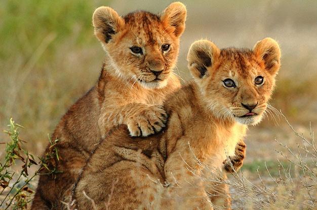 File:Lion-cubs1.jpg