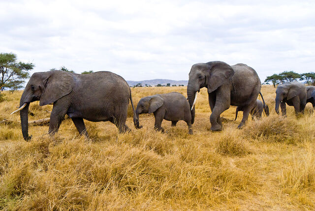 File:Elephants-rl.jpg