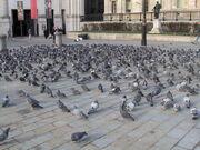 PigeonsSquare