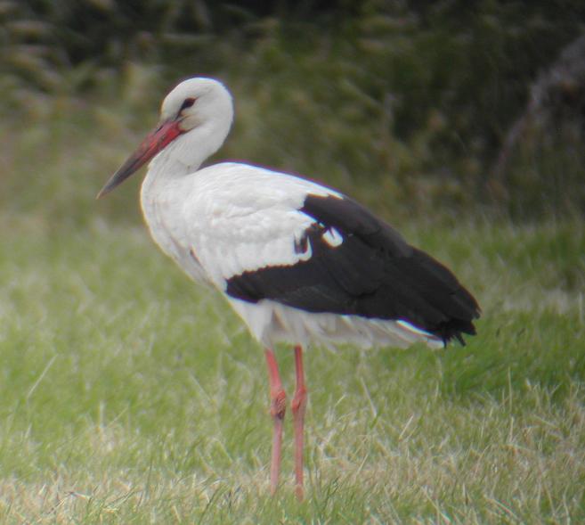 White stork aself