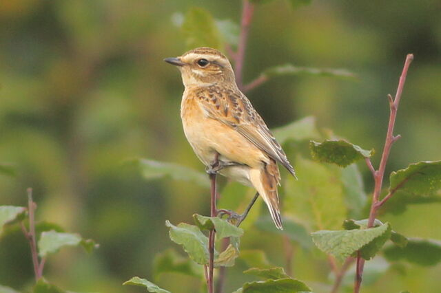 File:Whinchat Parliament Hill.JPG