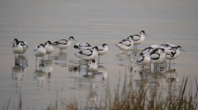 File:Avocet East Tilbury 18-01-2010.jpg