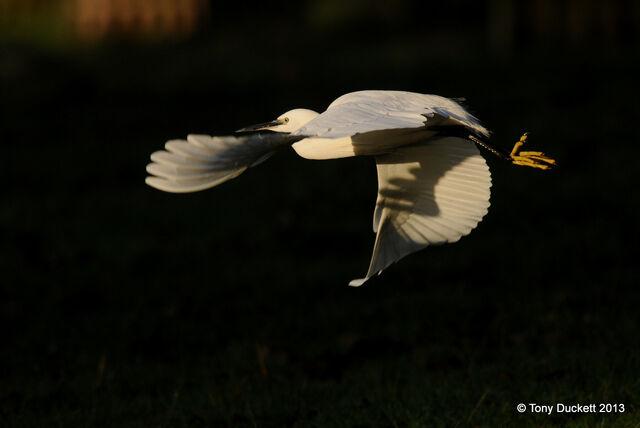File:Little Egret.1.JPG