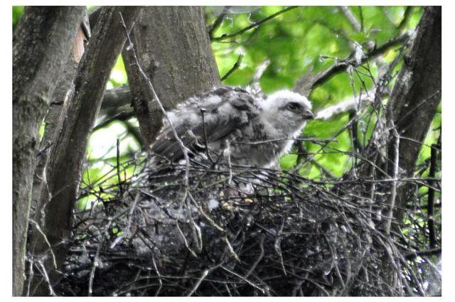 File:Juvenile Sparrowhawk, Wimbledon Common.JPG
