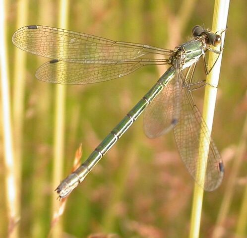 File:Scarce Emerald (f).jpg