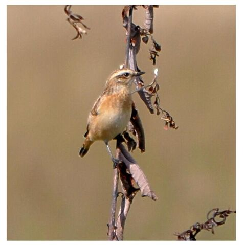File:Whinchat at Wimbledon Common.JPG