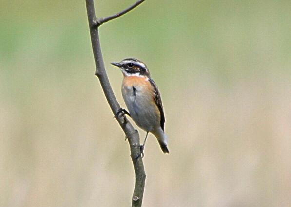 File:Whinchat at Wimbledon Common, 6th April, 2014.JPG