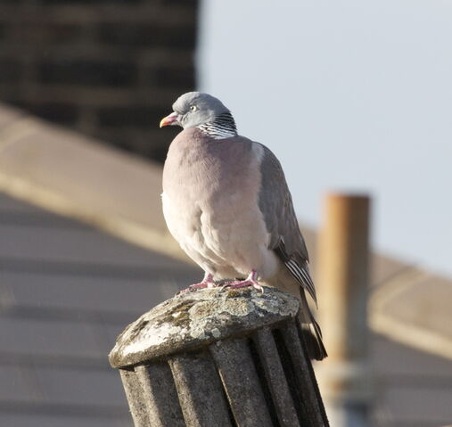 File:Wood pigeon.jpg
