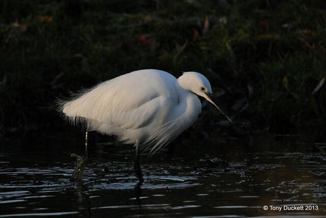 File:Little Egret.JPG