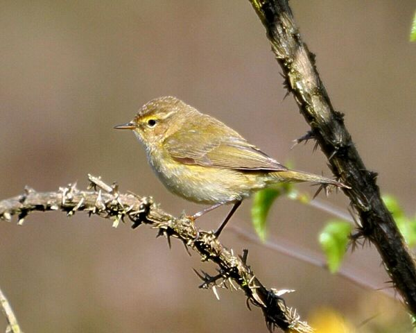File:Chiffchaff on Wimbledon Common.JPG
