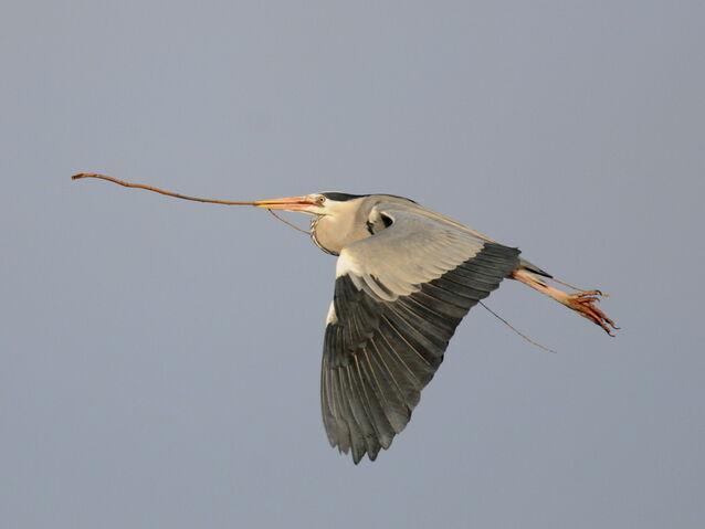 File:Grey Heron.JPG