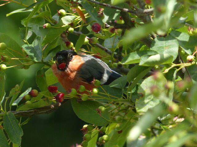 File:Bullfinch, Swanley.JPG