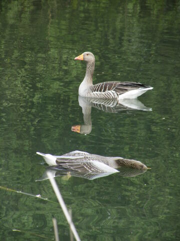 File:Grey-lag goose with it's dead mate - Battersea Park.JPG