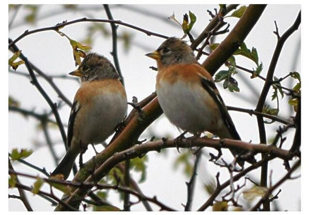 File:2 of 6 Brambling at Wimbled Common, 25th Oct. 2012.JPG