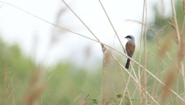 File:Red back shrike 2.jpg
