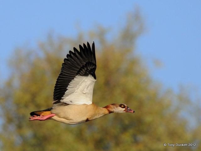 File:Egyptian Goose in flight.jpg