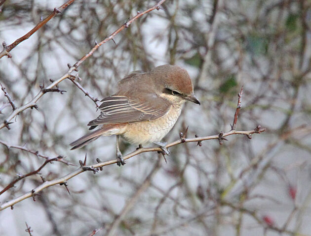 File:IMG 1490 Brown Shrike.jpg