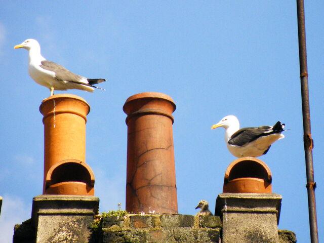 File:Lesser Black-backed Gulls at nest.JPG