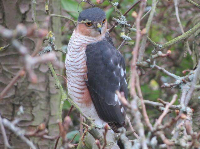 File:Sparrowhawk 010313.jpg