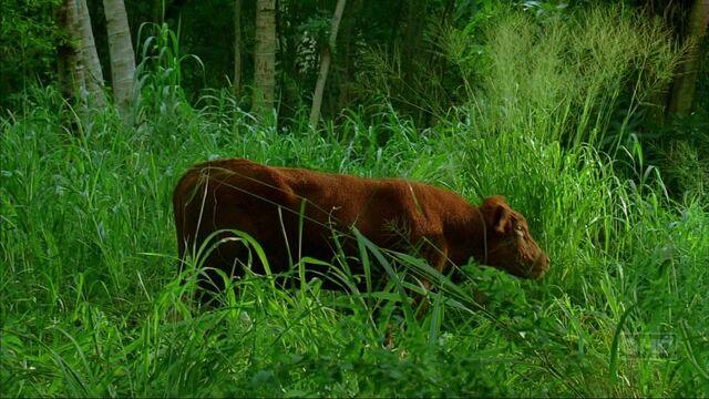 Ficheiro:Enter77 cow.jpg