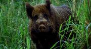 1X16 Boar.jpg