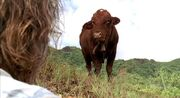 Franks Cow.jpg