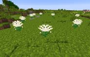 ChrysanthemumWhiteGroup