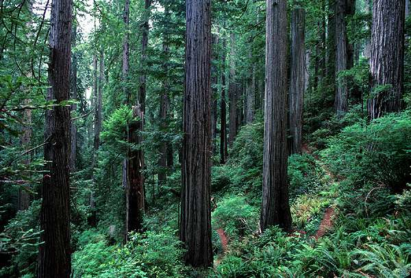 File:Redwood slope.jpg