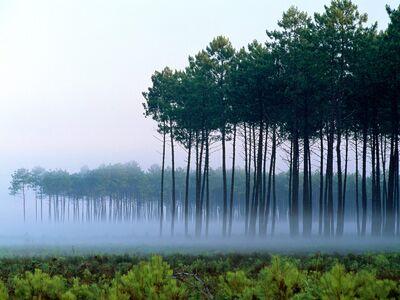 Pine Forest, Landes, France - 1600x1200 - ID 201