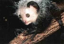 File:Aye aye lemur.jpg