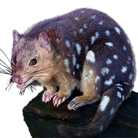 Huge item tigerquoll 01
